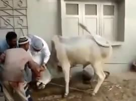 Great Escape By Cow - Video