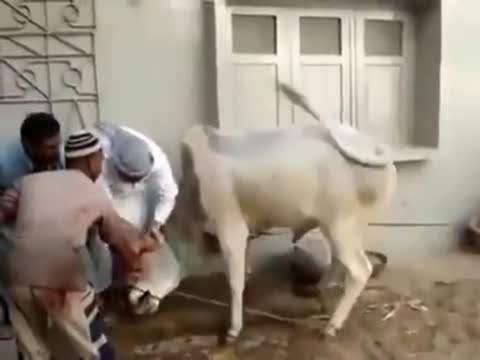 Great Escape By Cow