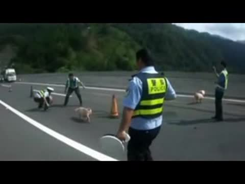 Policemen Chase Pigs