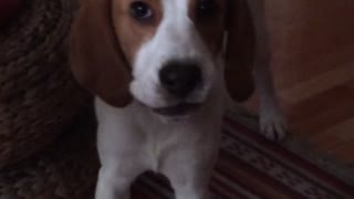 Cute beagle pup barking at the camera - Video