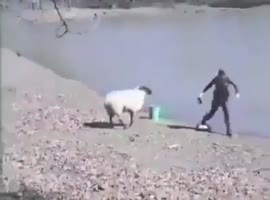 Angry Sheep Rams Into Fisherman - Video