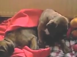 Boxer dogs refuse to go to sleep! - Video