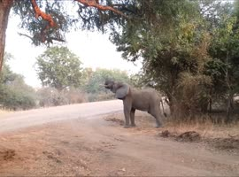 Cute Elephant Stretches On Tip Toes! - Video