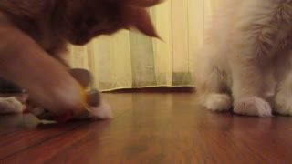 Red kitten playing. - Video