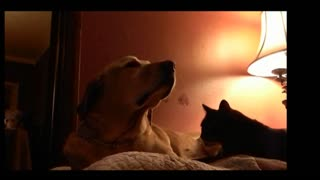 Cat Gives Dog Adorable Massage - Video