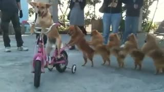 dog on bicycle - Video