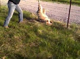Man released wolf stuck in fence - Video