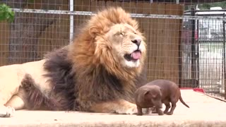 he game between a lion and a dog - Video