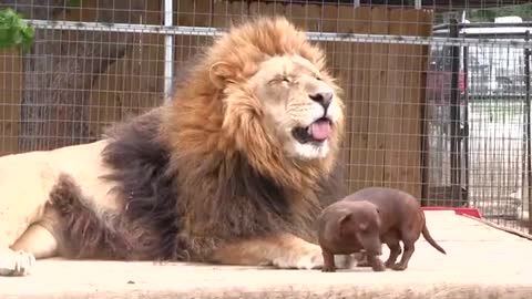 he game between a lion and a dog