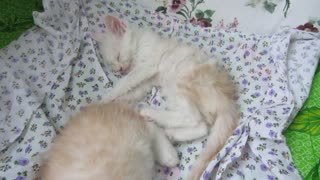 Kitten Falls Asleep After Getting Bullied - Video