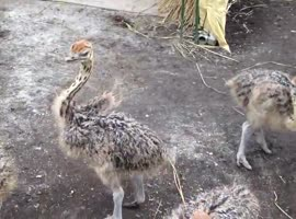 Dancing baby ostrich (very merry)