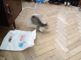 Determined Kitten Attacks Plastic Bag! - Video