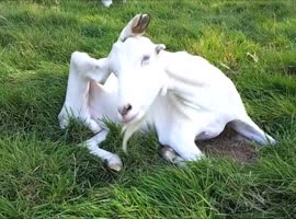 Goat Scratches Head to the Music - Video