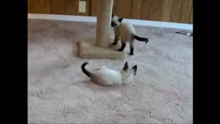 Cutest Kitten Wrestling Match Ever!