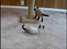 Cutest Kitten Wrestling Match Ever! - Video