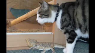 due amici cat e iguana - Video