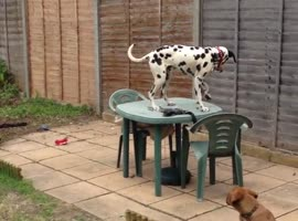 Dog Trapped on Garden Table