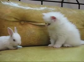kitten against rabbit - Video