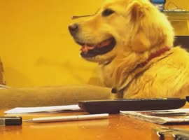 Cute Golden Retriever Loves to Listen to Guitar - Video