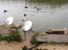 Aggressive Swan Protecting His Family - Video