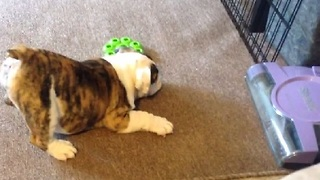 Puppy Doesn't Trust Electric Sweeper - Video