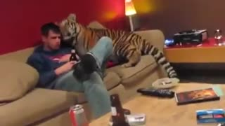 Young tiger nuzzle in your zoogledacha, spent the night on the couch - Video