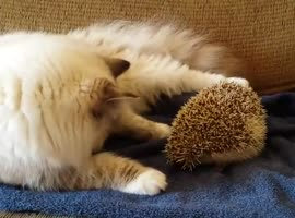 _Cat's Gonna Learn One Thing about Hedgehogs...._ - Video