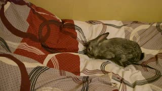 Bunny Gets Rid of Bed Sheet Creases - Video