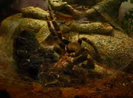 Tarantula Sheds Skin - Video