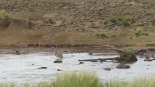 Zebra Escapes Lion Ambush - Video