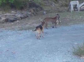 Hungry Cougar vs brave dogs