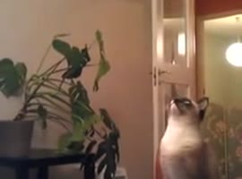 Cat Tries to Jump from Chair - Video