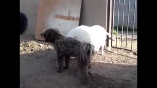 Dog and pig... wtf - Video