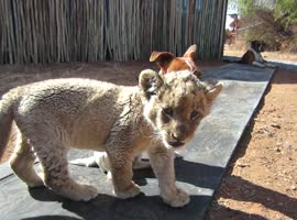 Lion Cub and Dogs Best Friends