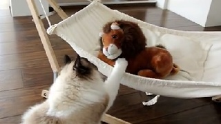 Timo The Ragdoll Cat Loves His Hammock - Video
