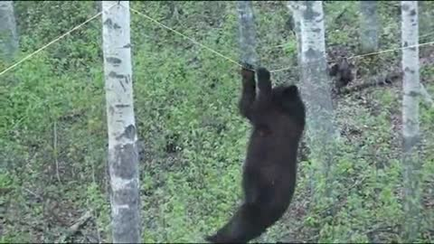Bear Makes Bad Decision to Climb Tightrope