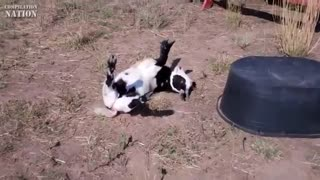 The Ultimate Funny Goat Video Compilation 2013 - Video