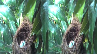 Bird's nest in stereoscopic video view 3D