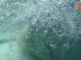 Swim aith a polar bear - Video