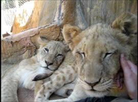 Lion Cub Chewing Sibling's Tail - Video