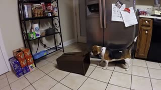 Penny the Beagle Versus the Trash Can - Video