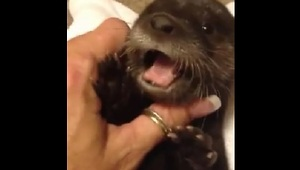 Adorable Baby Otter Will Warm Your Heart - Video