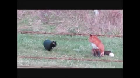 Best Friends: Black Cat and Red Fox