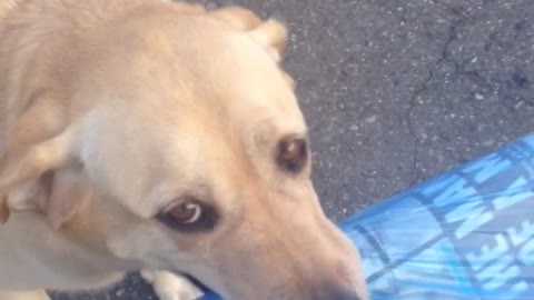 Considerate Dog Fetches Newspaper From Street