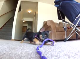 Puppy Playing Has Never Been Cuter! - Video