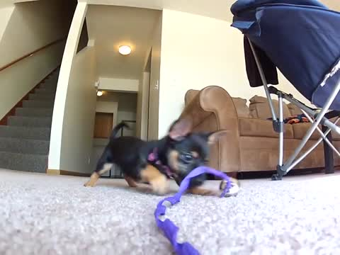 Puppy Playing Has Never Been Cuter!