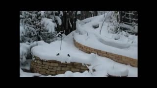 Birds taking snow baths....! - Video