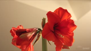 Cool Time Lapse of Blooming Flower - Video