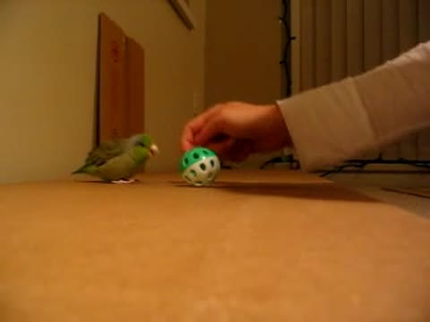 The Parrotlet Excitedly Chases and Plays with His Ball