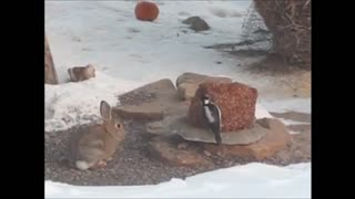 Bird Won't Share with Rabbit, Eventually Gives In - Video